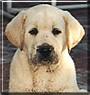 Dakota the Yellow Labrador