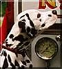 Maxie the Dalmatian