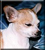 Lady the Chihuahua
