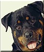 Echo the Rottweiler