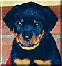 Kona the Purebred Rottweiler