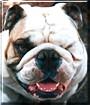Dozer the English Bulldog