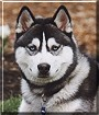 Maxwell the Siberian Husky