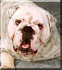 Butch the English Bulldog