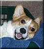 Compaq the Pembroke Welsh Corgi