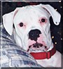 Duncan the White Boxer