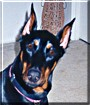 Kio the Doberman