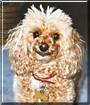 Ashlee the Toy Poodle