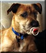 Homer the Schnauzer, Terrier