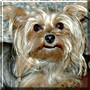 Lammy the Yorkshire Terrier