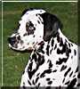 Bowie the Dalmatian
