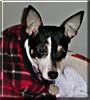 Mistletoe the Rat, Fox Terrier