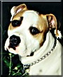 Russ the American Staffordshire Pit Bullterrier