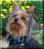 Bailey Brown the Yorkshire Terrier