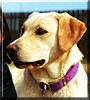 Skeena My Girl the Labrador Retriever
