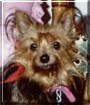 Tiffany the Yorkshire Terrier
