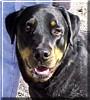 Gus the Rottweiler, Black Lab