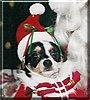 Roxie Jazz the Chihuahua