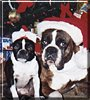 Sargent Bubba, Baby the Boxer, Boston Terrier