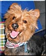 Zippy the Australian Terrier