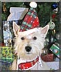 Duncan the West Highland Terrier