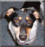 Dingo the Dog