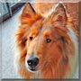 Emma the Rough Collie
