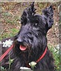 Nathan the Scottish Terrier