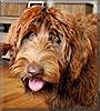 Zander the Chocolate Labrador, Poodle