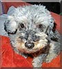 Charley the Miniature Schnauzer, Poodle