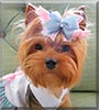 Lizzie the Yorkshire Terrier