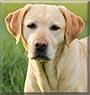 Zmora the Labrador Retriever