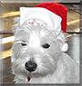 Zaidie the West Highland White Terrier