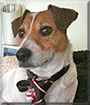Bono the Jack Russell Terrier