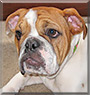 Phebe the English Bulldog