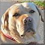 Benji the Yellow Labrador Retriever