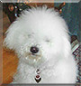 Coco Chanel the Coton de Tulear