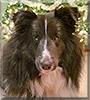 Wrigley the Shetland Sheepdog