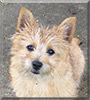 Toby the Cairn Terrier