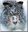 Kara the Shetland Sheepdog