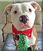 Toby the American Pit Bull Terrier