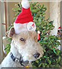Charlie the Wire Fox Terrier