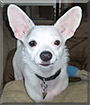 Ally the Chihuahua, Miniature Pinscher