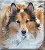 Madeline the Shetland Sheepdog