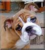 Stella the English Bulldog