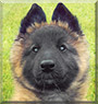 Hera the Belgian Tervueren Sheepdog