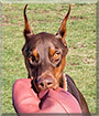 Whiskey the Doberman