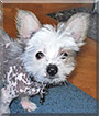 Sonic the Chinese Crested, Chihuahua