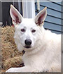 Maui the White German Shepherd