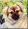 Snickers the Tibetan Spaniel